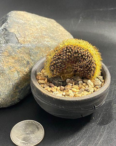 Crested Mammifera (A) and handmade pot